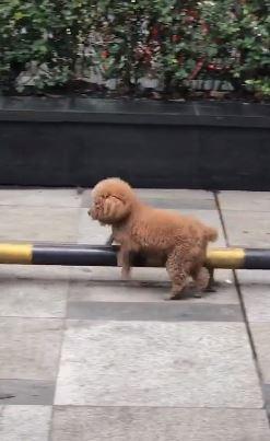 狗生太無聊了啦!貴賓犬自行鍛煉身體 使出「輪轉位移」肌肉練好練滿❤