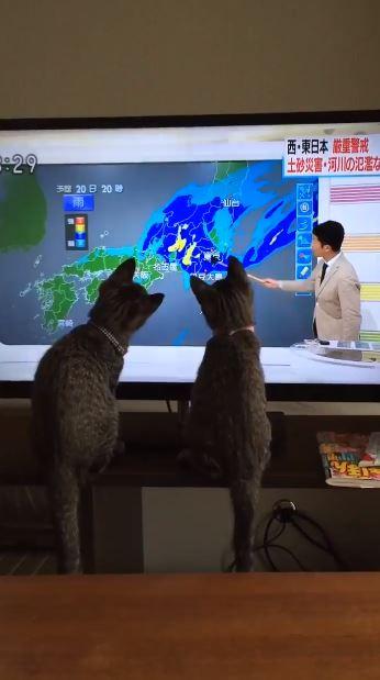 氣象播報員化身「逗貓專家」貓皇全被吸引!以後奴才們要失業了啦~