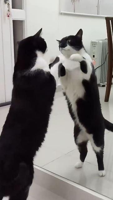 貓皇「第一次看到鏡子」震驚到當機:這帥哥是誰?讓我看看...原來就是我!