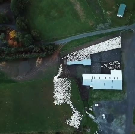 超壯觀「狗趕羊」航拍畫面!羊群像白米魔性流動太療癒♥