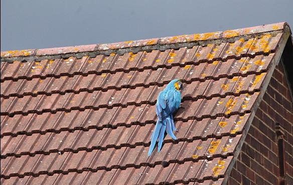 鸚鵡受困屋頂3天 消防員拿食物上去救援「反被鳥兒罵髒話」:給林祖媽滾開!