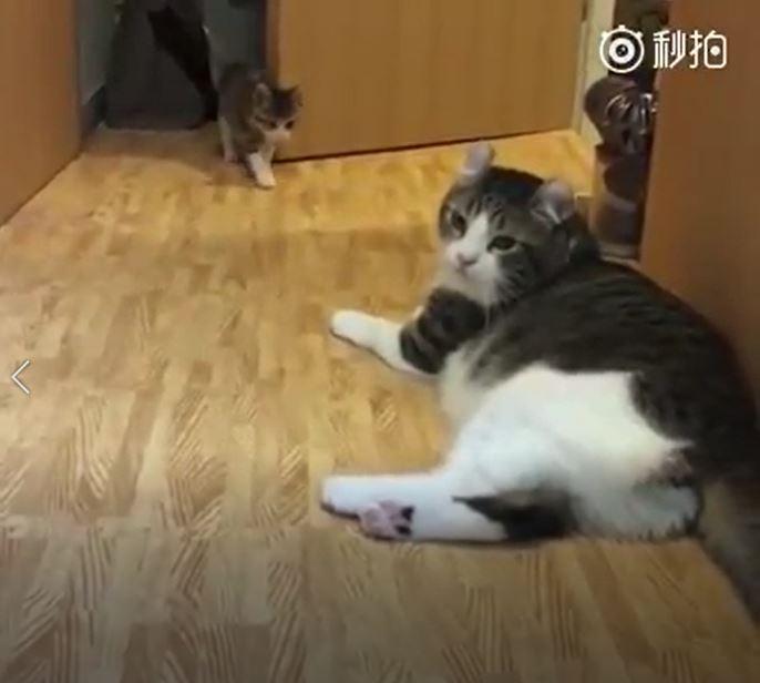 冏慘!菜鳥貓想嚇老貓 下秒自己變「丟臉小蠢蛋」:啊啊沒事~我經過而已
