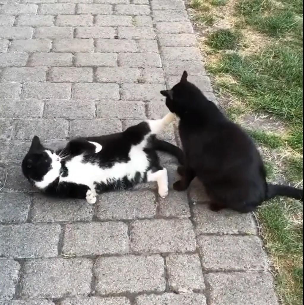 滾開啦!超派黑白貓狂踹同伴臉 隔壁一臉黑貓問號:人家又沒怎樣QAQ