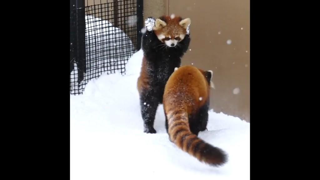 別再靠近我啦!小熊貓玩雪沾滿手「嚇到舉手手」 同伴快閃:走開啦我才剛清乾淨欸