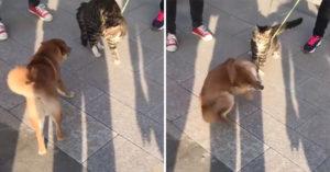 傻瓜柴好奇貓貓被牽住 靠近示好「慘被巴到懷疑狗生」:偶做錯了什麼QQ
