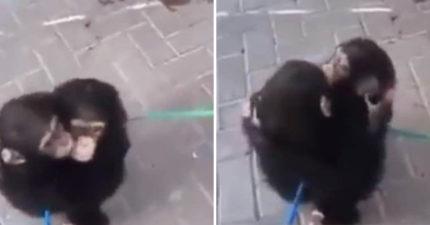 猩猩兄弟獲救「超溫暖擁抱」影片暴紅 動保員公布背後悲慘故事:牠們的媽媽犧牲了...