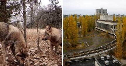 逃出封鎖線!車諾比32年後回歸「地球爆炸最原始面貌」 灰狼帶著大量輻射遷徙...整座城只剩顫慄
