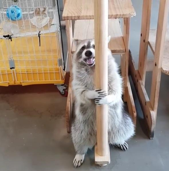 電子花車不失傳!小浣熊放下包袱 忘情跳鋼管搖擺:讓我做一回自己吧~