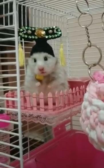 太子駕到!鼠鼠「戴頭飾」住東宮 呆萌看著奴才:俺的葵花子咧~