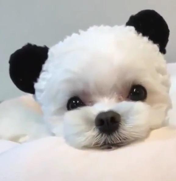 狗熊難辨!狗狗頭戴貓熊耳朵超激萌 看鏡頭吐舌裝可愛:別想吃人家豆腐~