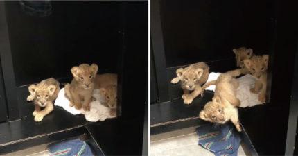 遇上愛聊天的小獅!超萌「寶寶撒嬌叫聲」可愛到融化:想抱一隻回家❤