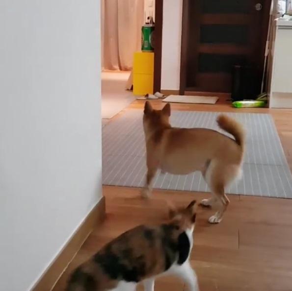 貓狗接球大戰!奮力一拋「神柴接殺」 貓皇顏面掃地:給朕記住!