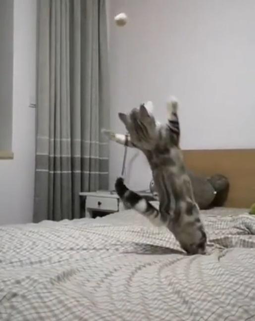 奧運等級!小灰貓靈活跳起攔球 一秒帥氣落地:朕可是神捕手呢~