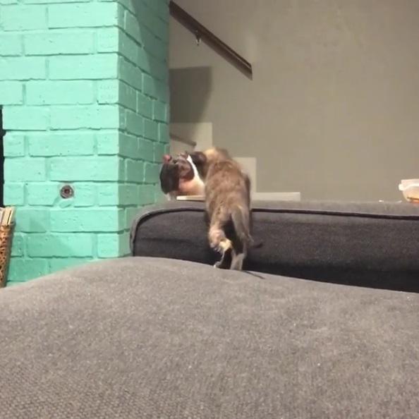 有夠膽小!貓咪緊盯老鼠緩慢靠近 卻被老鼠嚇到落跑:怎麼跟我一樣大~