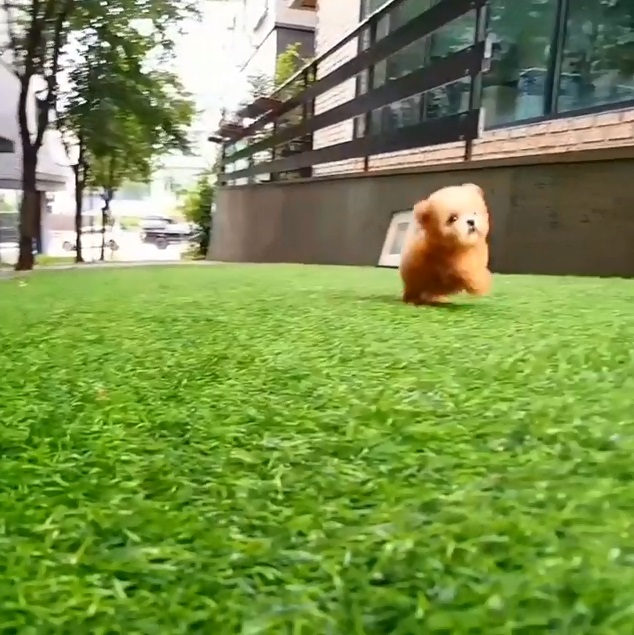 可愛到像假的!小萌狗在草地上奔跑 邊跑邊滾超療癒:根本像小熊娃娃~