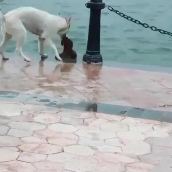 友誼萬歲!小白狗驚覺好麻吉落水 立馬伸頭叼住:別怕,我拉你一把~