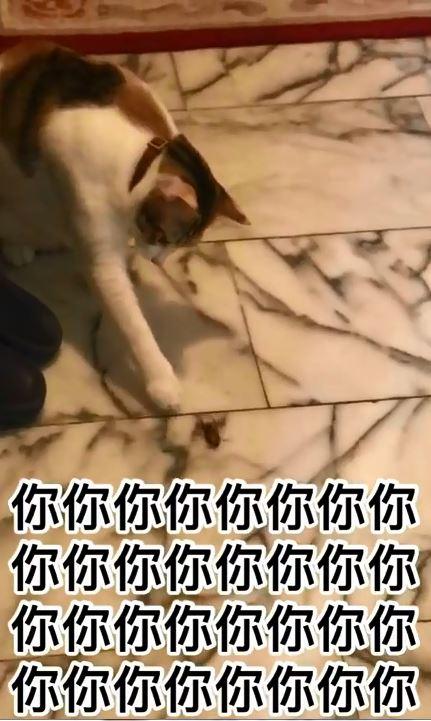 林北94要摸!貓皇手賤「喚醒萬惡小強」 鏟屎官崩潰狂奔:阿娘威QQ