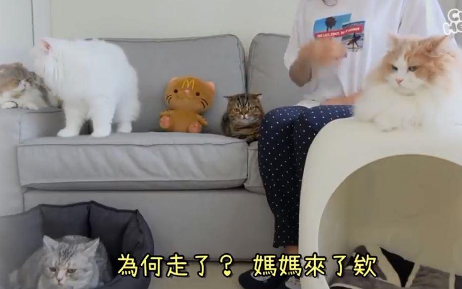 鏟屎官咬到壞蘋果倒地...家中7貓反應太幽默:終於可以偷吃她口袋的零食惹