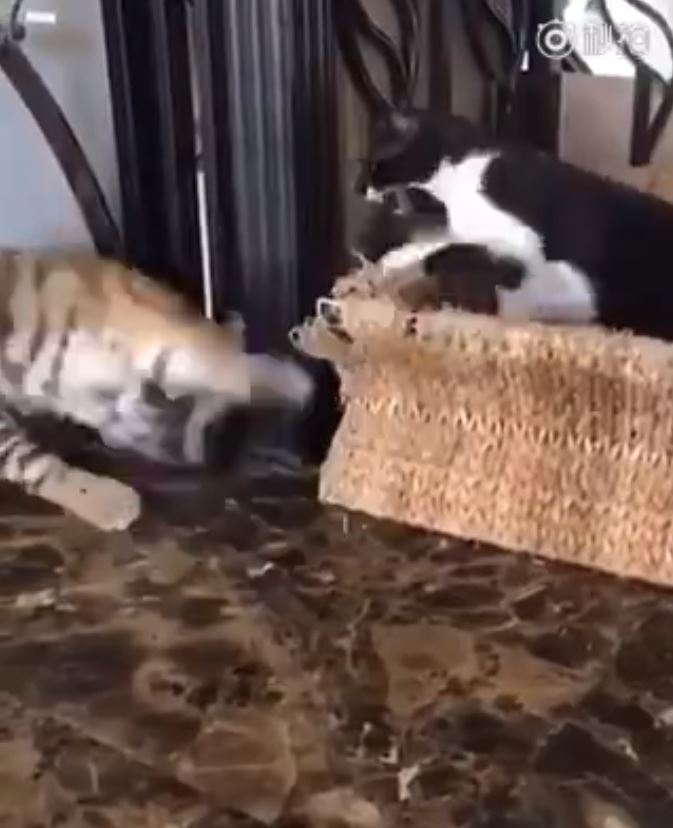 我們不是一家人嗎?虎弟開心想示好 下秒貓哥直接「揮拳伺候」:給本王退下!