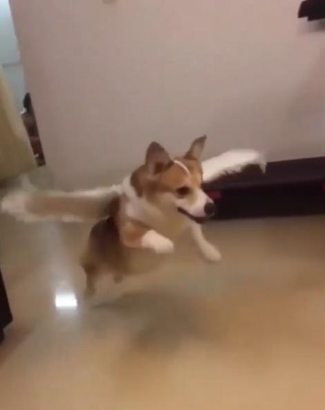 短腿柯基戴翅膀直接變身 一個跳躍「最萌天使飛高高」:I can fly~