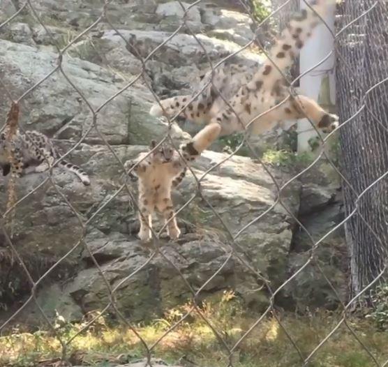 雪豹突然跳下想惡作劇媽媽!結果報應馬上來「神同步升空」:不愧是母子啊~
