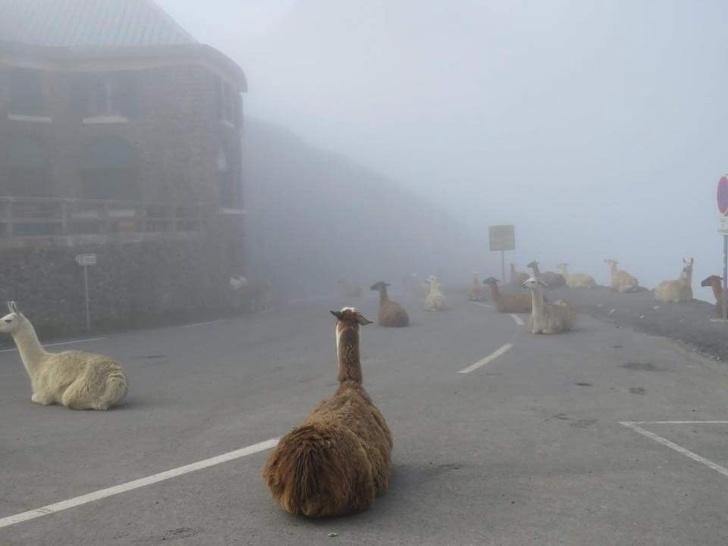 24張會讓你嚇到心臟飛出來的「超衝擊照片」 整條街被草泥馬佔領了!