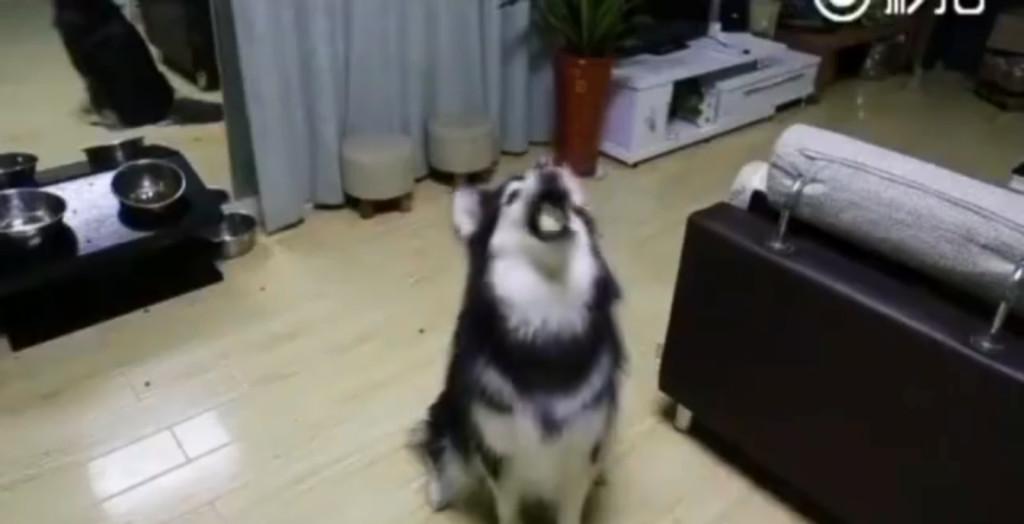雪橇犬和主人玩拋接 拿出「刺刺大魔王」直接看傻:想臭死還是砸死我?