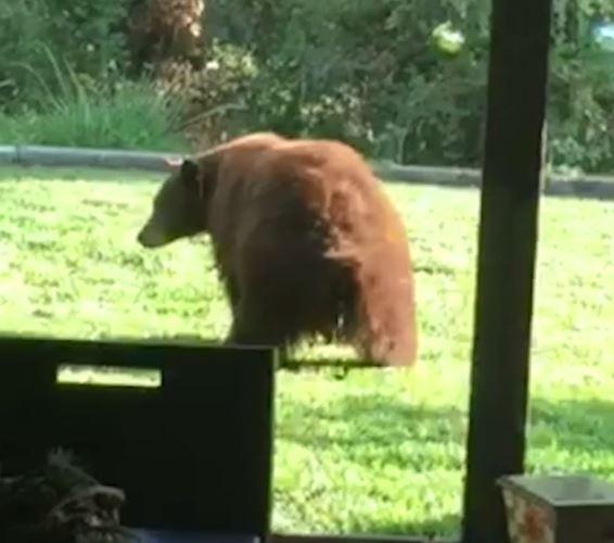 跟樹枝打架!大熊熊其實「個性呆萌」 硬要爬到樹的最頂端:好晃RRRR