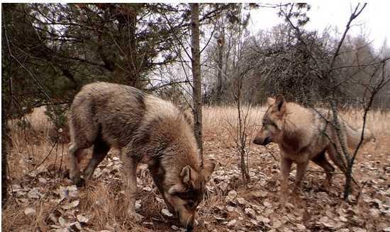 逃出封鎖線!車諾比32年後回歸「地球最原始面貌」 灰狼帶著大量輻射遷徙...整座城只剩顫慄