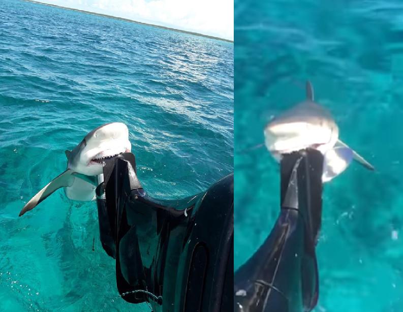霸氣全失片/1.4m小鯊魚被剪掉魚線還不逃 咬住引擎「露出牙齒燦笑」萌炸♡
