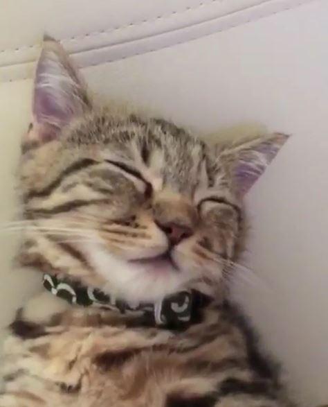 看電視看到睡著...短腿貓「無敵睡姿」超萌 好想揉那個小圓臉啊!