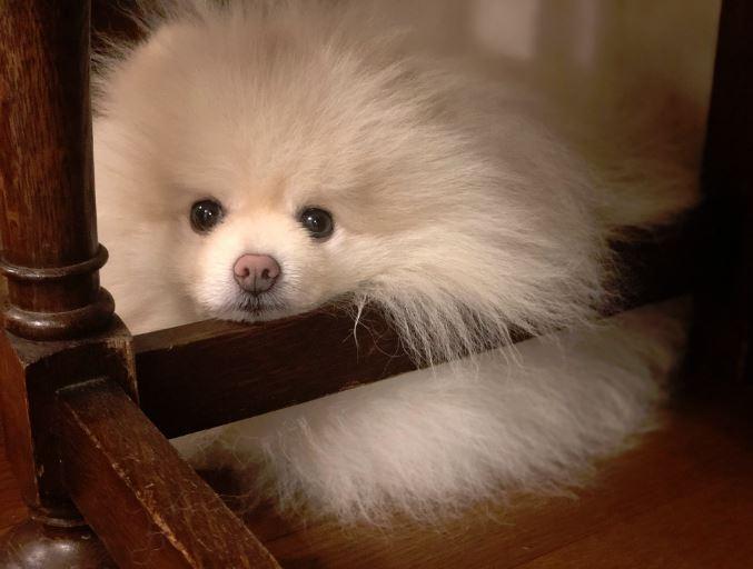 本狗就是愛散步!博美被吹成「行走雞毛撢子」 眼睛被毛完全封印:怎麼霧茫茫?