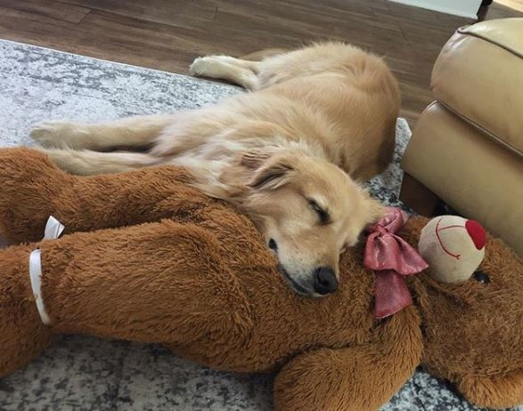 靠著才要閉眼睛!金金是「大熊玩偶」死忠粉 睡覺時間到:我的陪睡丫鬟呢~