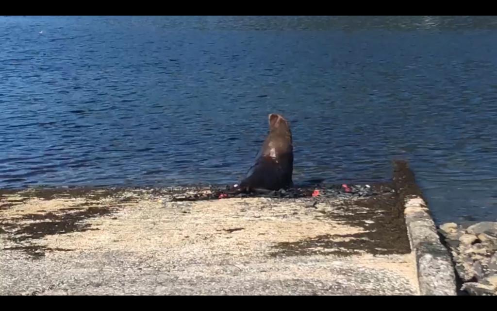 跑給警消追!700公斤海獅迷路4天躲樹叢 太重只好推土機「整隻鏟回海裡」