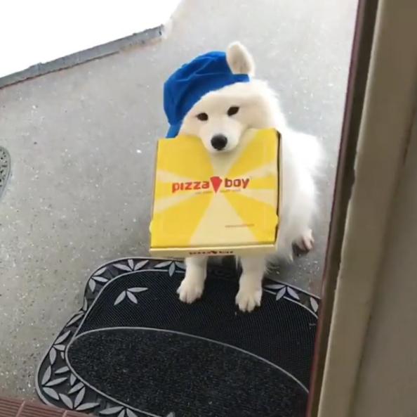 開門驚見軟萌「薩摩耶外送員」 敬業咬披薩盒不肯放:先給錢再說!