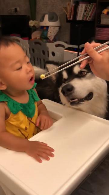 耳機被兒子拿去泡水報廢 把拔「耍心機餵食」報復...呆狗爽慘:多餵一點~