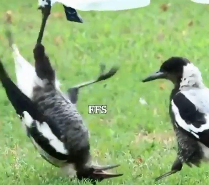 鳥哥「抓布倒吊」遭白目老弟搔癢 併軌後森氣氣:你怎樣!