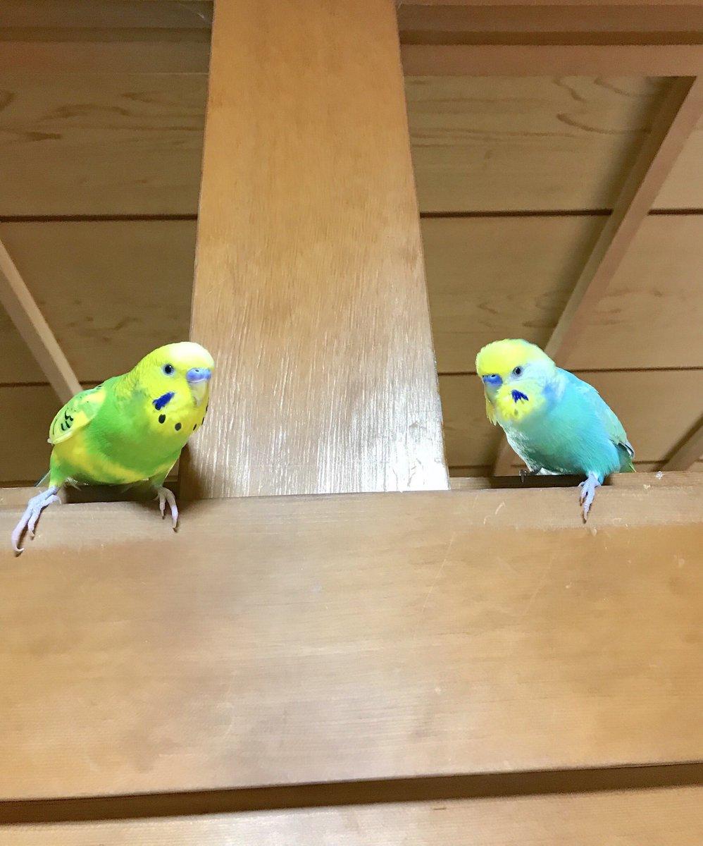 跩鸚鵡看到複製品超不爽 偷偷靠近「一腳踹飛」:走開,你這冒牌貨!