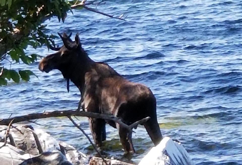 美國遊客見麋鹿新奇「自拍PO網」 被嚇到躲進湖裡...失去力氣再也上不了岸