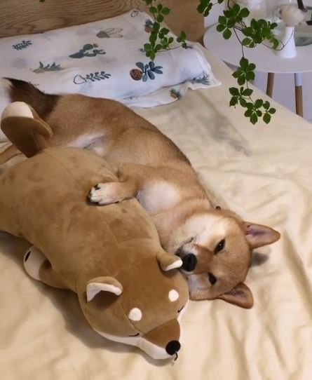 日本小豆柴愛撒嬌 吃飯睡覺都要抱著娃娃:靠在一起才溫暖呀