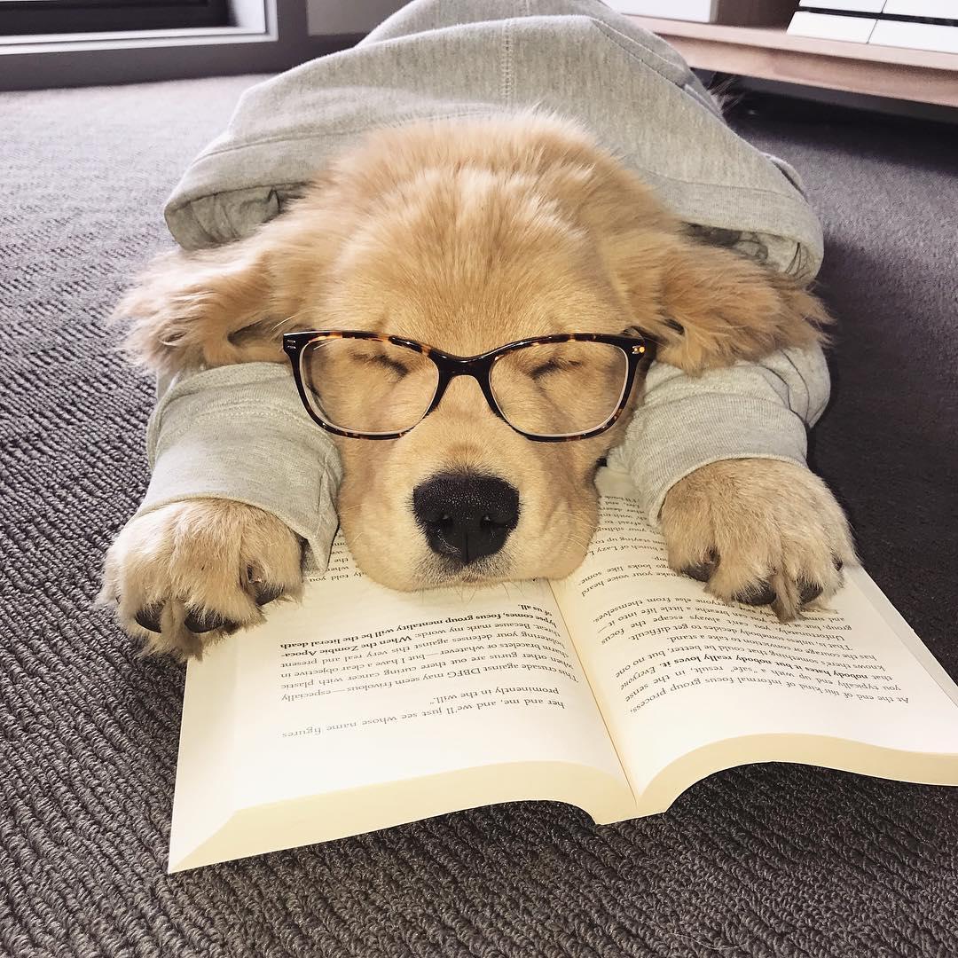小黃金不敵「書本催眠魔力」睡到翻掉 網笑:這不就是準備考試的我~