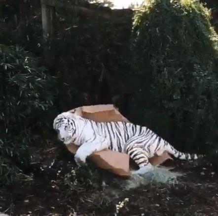 眼前出現紙箱!小老虎秒從「森林之王→賣萌小貓咪」露本性:朕...朕控制不了自己啦