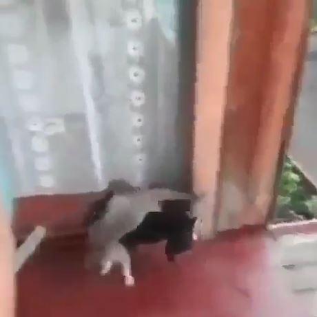 我來救你!超壯狗狗「一把背起喵星人」高速直奔回家:到家裡就安全了~