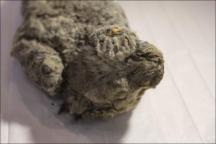 50000年前小獅出土!身型臉部超完整 專家:牠連眼睛都還沒睜開就走了...