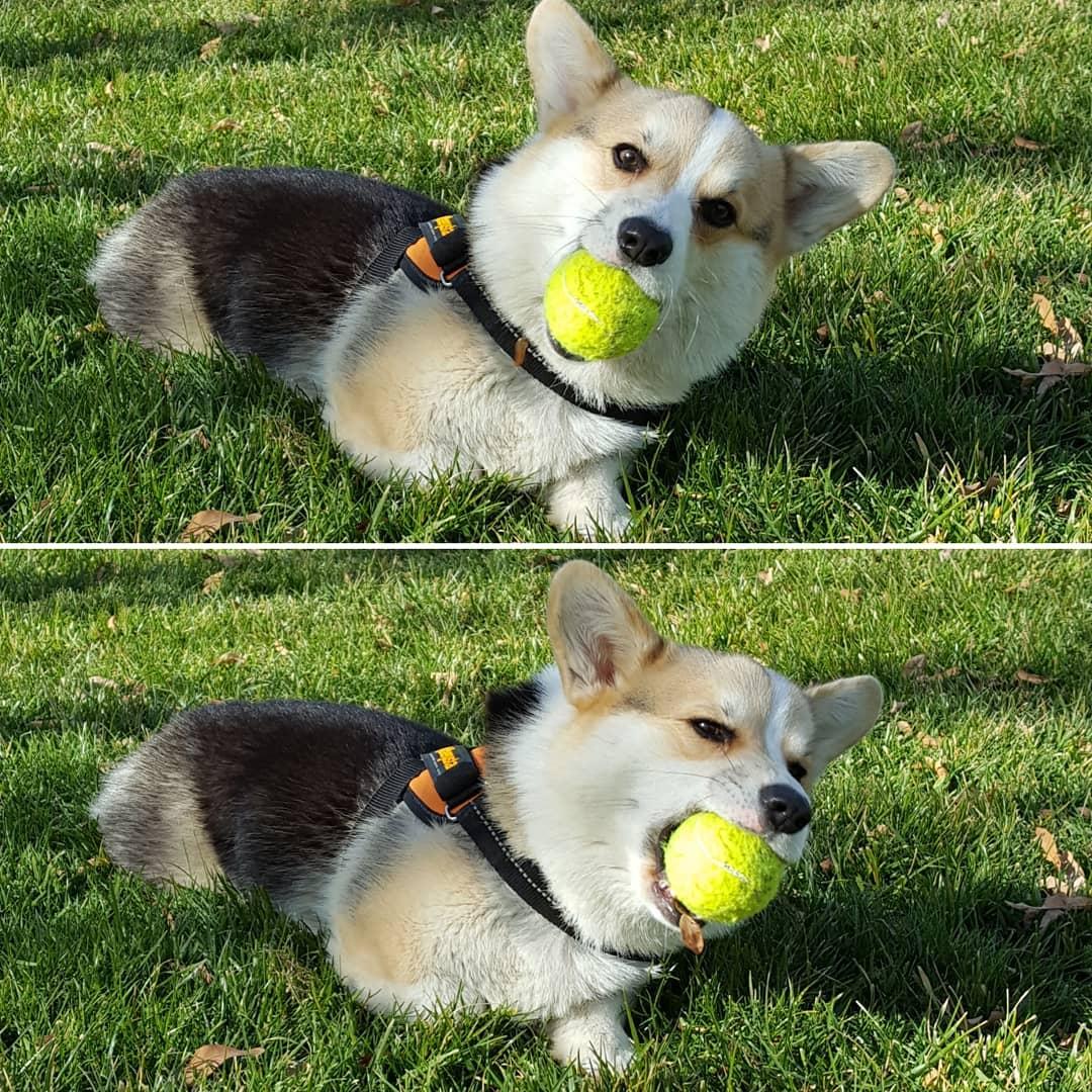 柯基頭一次見到球球超興奮 亂跳瞎忙「完全沒碰到球」:快開始滾呀!
