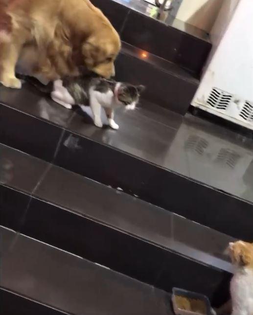 家中貓咪8+9超愛在外面「鬧事」 無奈阿金直接叼走:好了啦回家了