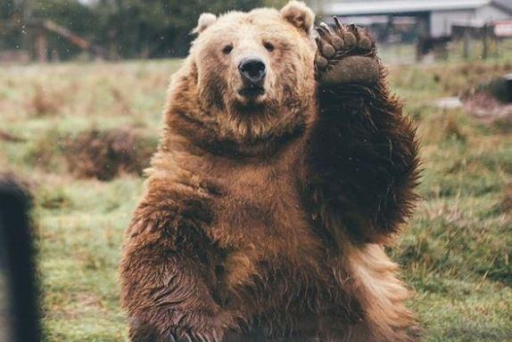 熊在冬眠的時候都不用嗯嗯?原來是自體產生「便便塞子」堵住 醒來再去順暢一波~