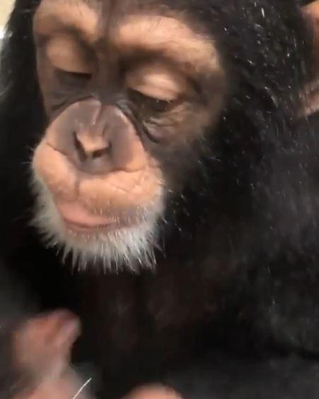 萌爆點!小猩猩完全3歲小孩樣 左搓右揉學洗手:哦~好多泡泡出乃了~