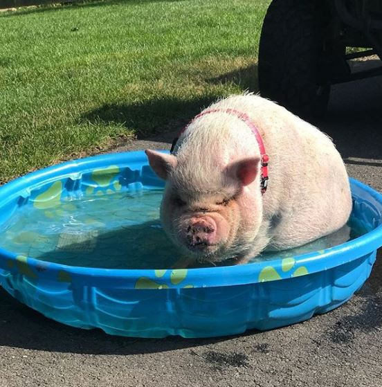 嫩肥粉紅大豬豬泳池泡澡 網友笑歪樓:我認得那顆痣~4我朋友!