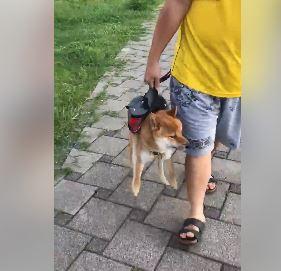 散步遇到小流氓黑柴「挑釁叫囂」 呆萌赤柴衰臉問:路過而已我錯了嗎~